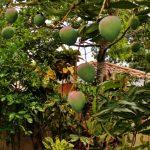 Mango Season 2012
