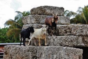 3 goats