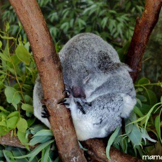 Five Fun Facts About Koalas